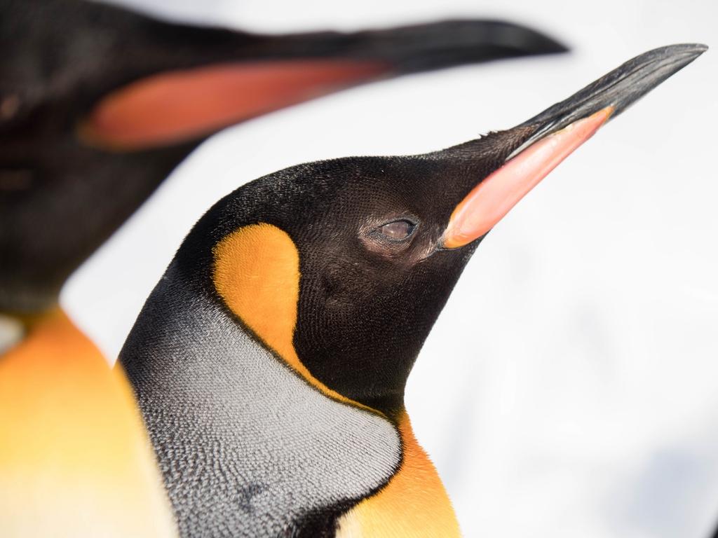 2羽のペンギンのアップ